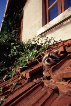 """Worried residents have responded by using steel traps and poisonous gas and by organizing special raccoon hunts. Still, over the past 70 years, they have proved themselves experts at surviving in a foreign environment and have gradually conquered new territory. """"The species is firmly established here,"""" says Hohmann."""
