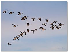 https://flic.kr/p/23qBRUv | Canada Geese Fly Together
