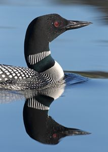 LOONS.   Their cry is almost as Amazing as an Elk in the early morning