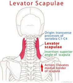 Levator scapulae origin, insertion, action, trigger points, test on http://ehealthstar.com/anatomy/levator-scapulae-muscle