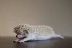 hedgehog yoga    Heh... Always thought hedgehogs were cute...    @Naomi Elizabeth