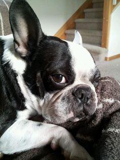 owen the frenchton...  frenchton= 1/2 french bulldog + 1/2 boston terrier...100% cuteness.