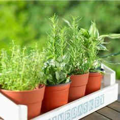 7 herbes aromatiques et m dicinales faciles faire pousser chez soi et comment les cultiver - Herbes aromatiques a faire pousser ...