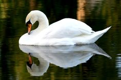 Swan Reflections - Barry Price