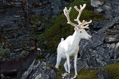 Chances are you've probably never seen an albino animals in person, and if you have. well your pretty lucky. Albinism is most seen in amphibians and birds, but rarely in mammals. Pavo Real Albino, Albino Deer, Rare Albino Animals, Beautiful Creatures, Animals Beautiful, Melanism, Photo Animaliere, White Reindeer, Stuffed Animals