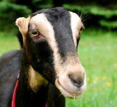 Baby LaMancha Goat! | photography | Pinterest | The o'jays, Babies ...