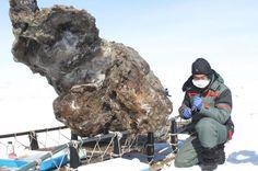 Vildt fund: Blodet flød, da forskere befriede 15.000 år gammel mammut.  Her ses billeder fra 13. maj 2013, hvor en forsker knæler ved siden af resterne af en hun-mammut, som blev fundet på en fjern ø i Det Arktiske Hav. Russiske forskere hævede onsdag, at de havde fundet blod i mammuten, og at fundet derfor øgede sandsynligheden for at klone det uddøde dør.