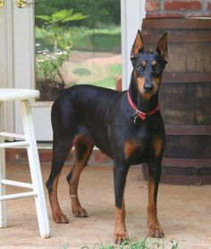 """Excellent """"Rottweiler dogs"""" info is offered on our internet site. Check it out and you will not be sorry you did. Blue Doberman, Doberman Love, Rottweiler Funny, Rottweiler Puppies, Doberman Training, Doberman Pinscher Puppy, German Dog Breeds, Losing A Dog, Dog Owners"""