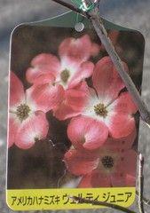 植物_1-ch184658 | 写真共有 - gooブログ「フォトチャンネル」 070317ハナミズキをもらう044_2