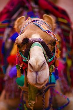 Colorful camel in India
