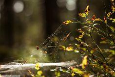Autumn blackberries catch some morning light. Finnland. Suomi. For more photos watch my portfolio on Behance https://www.behance.net/gallery/46220321/Finland