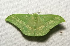 Geometrid Moth (Tanaorhinus reciprocatus, Geometrinae, Geometridae) | Flickr - Photo Sharing!