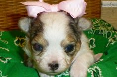 Meet PRISSY MAY a cute Chihuahua puppy for sale for $800. BLUE MERLE FEMALE see prissy's new pics as of 02/01/14