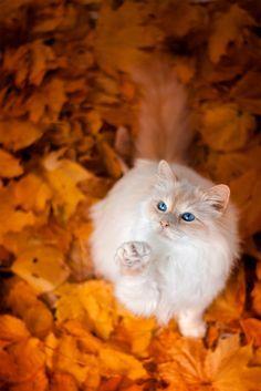 gato branco lindo