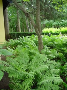 Ostrich ferns as a groundcover-this is a beautiful look.  The texture, scale and informality is easy on the eyes, and pleasing.