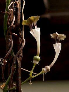 Ceropegia flower.