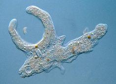 hoe ziet er een eencellig dier er uit