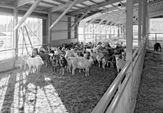 Award winning goat cheese maker- the Vermont Creamery- has built a model goat dairy farm.