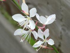 Gaura Plant, Flower Garden Pictures, Evergreen Shrubs, Grass, Home And Garden, Flower Gardening, Flowers, Fungi, Butterflies