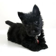 Scottie pup ❤ liked on Polyvore featuring animals and dogs
