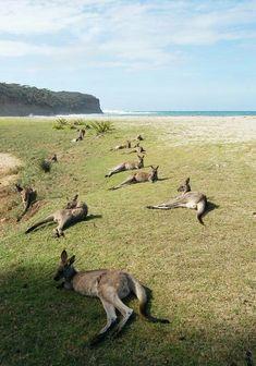 Local visitors at Pebbly Beach, South Coast, NSW Australia Australia Travel, Sydney Australia, Australia Photos, Australia Beach, Animals And Pets, Cute Animals, Australia Animals, Australian Bush, Interesting Animals