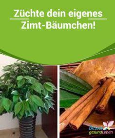 #Züchte dein eigenes #Zimt-Bäumchen!   Zimt haben viele im #Gewürzregal stehen, jedoch nicht auf der #Fensterbank.