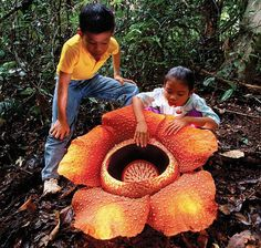 "World's Largest Flower, Rafflesia Arnoldii. Diameter of about one meter and weighing up to ten kilograms. It's rare & not easily located, growing once a year, blooming for 5 days. The flower looks and smells like rotting flesh & is related to violets, poinsettias & passionflowers. It's nickname is ""meat flower"" or ""corpse flower"". Found in Indonesian rain forests of southeastern Asia and Philippines."