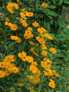 Coreopsis lanceolata: perennial grows in small clumps but forms extensive colonies. It is 1-2 1/2 feet tall; native to NY; drought resistant.