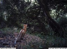 Remote Camera Photo of the Week: Red fox on the lookout for a rodent meal in the East SF Bay Area    Trivia question: Is the Red Fox a native species in the area?     Every week, we post a photo from our remote camera research database from the Bay Area Puma Project and from photos shared with us.    To submit a photo for Photo of the Week, email info@felidaefund.org! If your photo is chosen, we will send you a Bay Area Puma Project water bottle