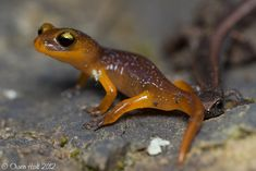 Ensatina salamander of the West Coast