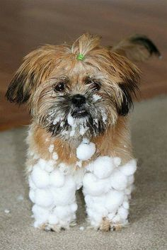 Lhasa Apso - they Love snow!