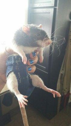 Small pet diaper. Diy male rat diaper.