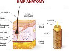 The Hair Growth Cycle Explained | How Does Hair Grow?