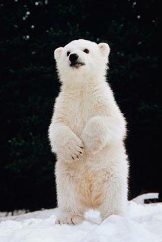 I Am a big Bear --- baby polar bear - - Baby ijsbeer Nature Animals, Animals And Pets, Wild Animals, Cute Baby Animals, Funny Animals, Baby Polar Bears, Polar Cub, Baby Bear Cub, Cute Polar Bear