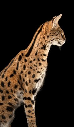Cats For Adoption Code: 7397799310 Caracal, Serval Cats, Small Wild Cats, Big Cats, Cat Has Fleas, Fort Worth Zoo, Herding Cats, Cat Plants, Exotic Cats