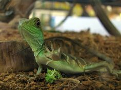 All sizes | Water Dragon Says Hi | Flickr - Photo Sharing!