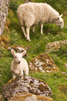 Newborn Lamb at Cill Chriosd, Isle of Skye