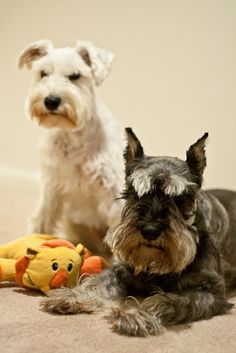 Two darling mini schnauzers❤️