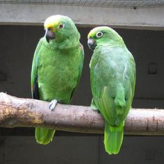 Parrots and amazons on pinterest for Amazon oggettistica