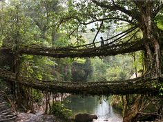 living root bridges of Cherrapunji, East Khasi Hills, Meghalaya, India (North Eastern India)