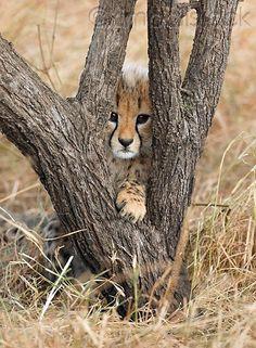 Cheetah Cub--peek a boo Beautiful Cats, Animals Beautiful, Cute Funny Animals, Cute Cats, Big Cats, Cats And Kittens, Animals And Pets, Baby Animals, Baby Cheetahs
