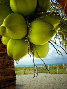 coconuts, Ilha de Itamaracá, Pernambuco, Brazil