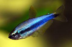 Blue Emperor Tetra. Ooo he is cool:)