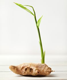 Did you know that even one commercial ginger can be grown … – Tables Ginger Cultivation, Easy Garden, Home And Garden, Garden Ideas, Vegetable Garden, Garden Plants, Cool Tables, Dream Garden, Diy Flowers