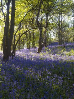 """travelthisworld:  """"Loughborough, Leicestershire, England  """" Woodland Flowers, Woodland Garden, Beautiful World, Beautiful Places, English Bluebells, John Cheever, Cottage In The Woods, British Countryside, Blue Garden"""