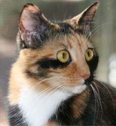 Tubbie is an adoptable Calico Cat in Cumming, GA. Hi there, my name is Tubbie, a beautiful short-hair Calico born around 3/9/2010. My name is Tubbie (as in Teletubbies). I am a beautiful female calico...