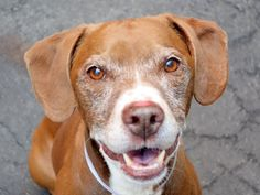 RANGER - A0741186 - - Brooklyn  TO BE DESTROYED 12/31/15  Ranger's life is like a soap opera—nothing seems to ever go right for him. But this is real life and ACC has now decided that the ending to this drama will be to euthanize Ranger tomorrow. Adopted as a puppy many years ago, Ranger apparently lived in harmony with his family of adults and another dog. Then one of his owners died and when the remaining family moved, Ranger ended up right back at Brooklyn ACC. Again