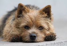 """Terrier Mix Norwich Terrier - God Loves A Terrier.With His Cute Little Derriere~~""""Best In Show"""" I want one! Norwich Terrier Puppy, Yorkshire Terrier Puppies, Bull Terrier Dog, Terrier Mix, Cairn Terriers, Puppy Grooming, Australian Terrier, Yorkie Puppy, Dog Houses"""