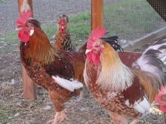Swedish Flower Chicken: Friendly, Colorful, Good layers, Easy going, Great mother hens