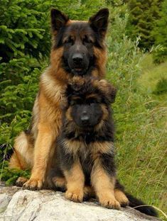 Discover the secrets of German Shepherd, click on the image -------------------------------------------------------------------------- German Shepherd german shepherd puppy german shepherd puppies #GermanShepherd #germanshepherdpuppy #germanshepherdpuppies german sheperd